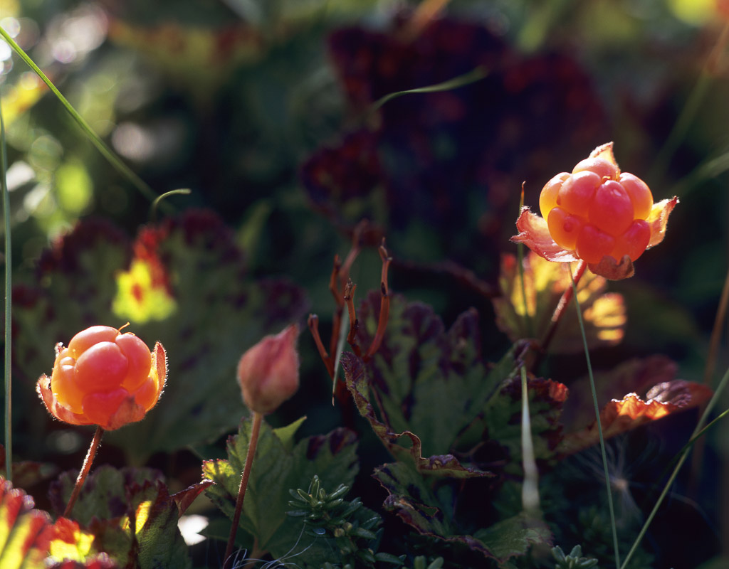 Coludberries grow in marshy areas around all Northern Norway, but be careful you are not picking from someones private area © Bjørn Klauer