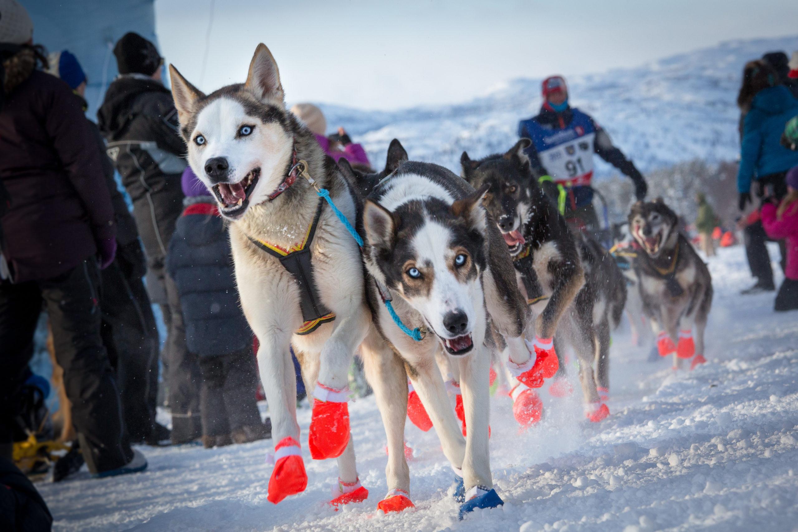 Dog sledding on the Alta river. Alta also hosts the finnmarkslopet where teams dog race across Finnmark © Konrad Konieczny