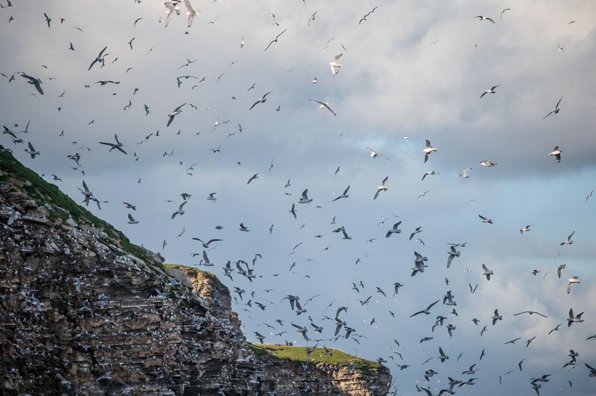 Fuglefjellet på Ekkerøya huser rundt 20.000 par krykkjer i hekkesesongen.  Foto: Jarle Wæhler
