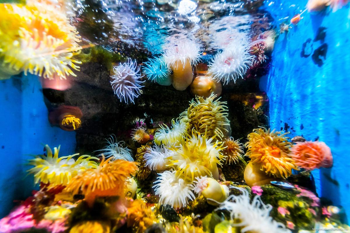 Sjøanemoner blir der de er, og håper at maten svømmer forbi © Polaria