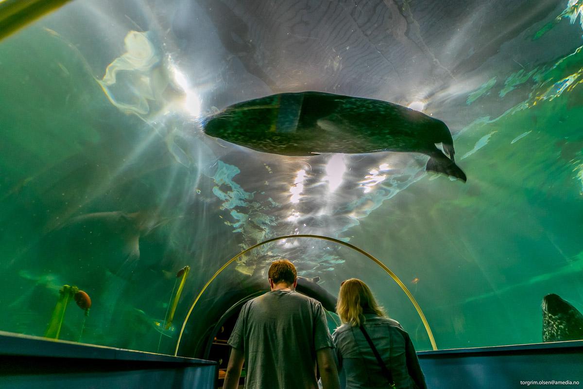 Med én gang du går gjennom tunnelen, kommer selene svømmende (c) Polaria