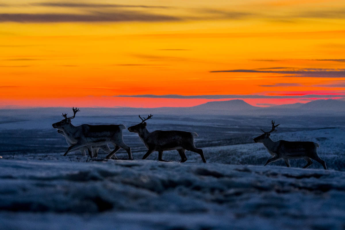 The reindeer herding are a very active part of Finnmark and Troms © Thomas Rasmus