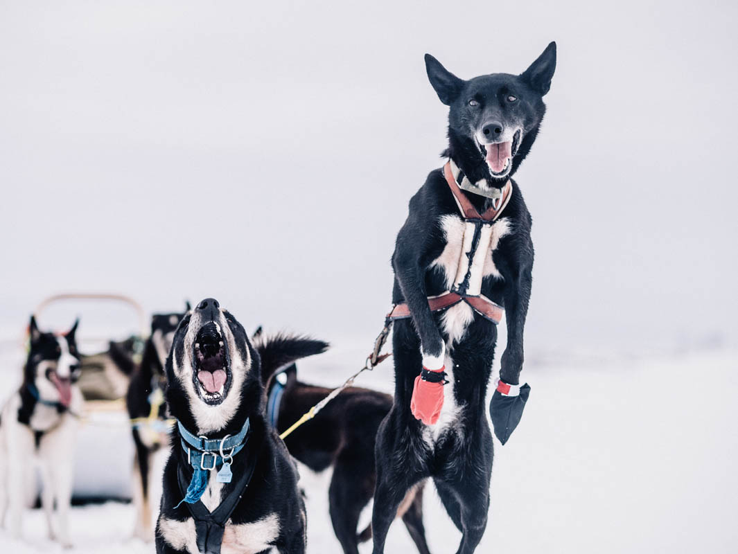 Hoppende fornøyd Alaska Husky (C) Trasti og Trine
