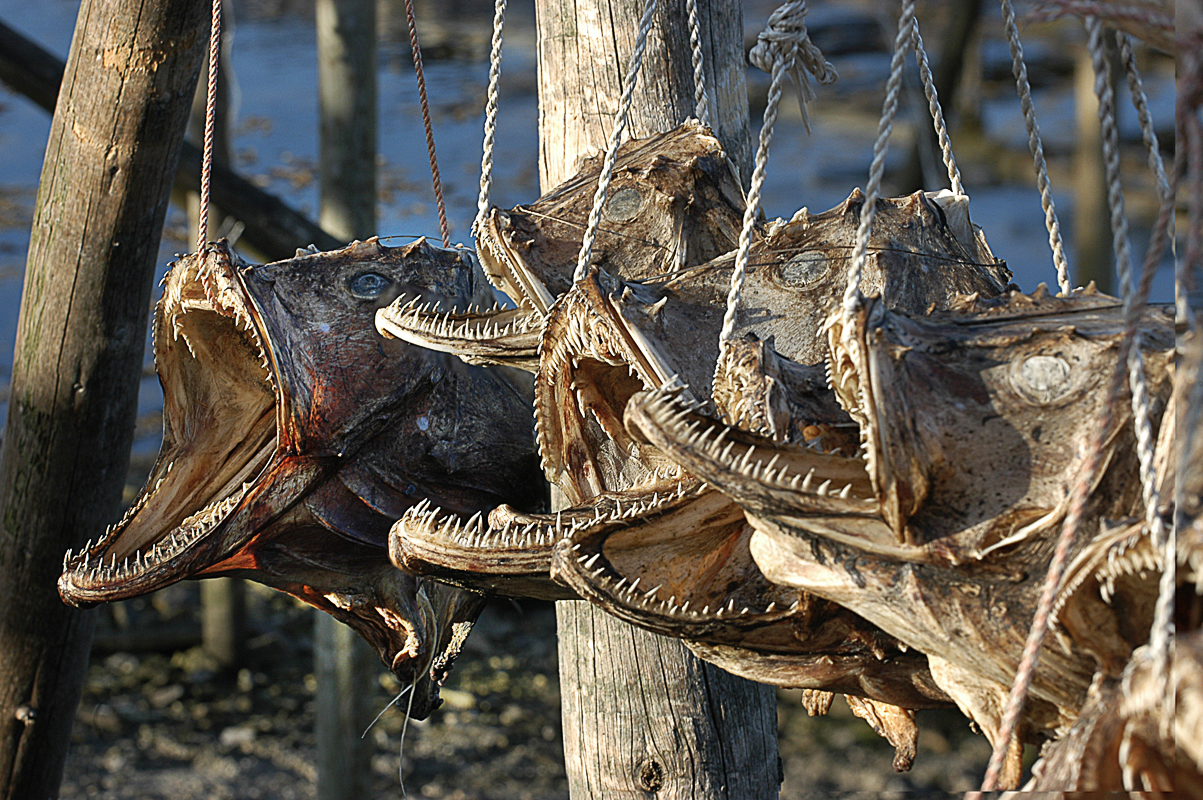 Hau - tørkede hoder, disse av breiflabb, ble brukt til gjødsel. De blir også eksportert til Nigeria, hvor de knuses til pulver og blir kraft til fiskesuppe © Marius Fiskum © Norges sjømatråd