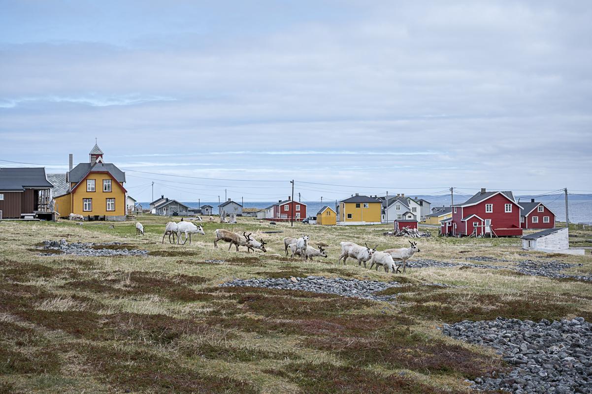 Reinsdyr beiter i Hamningberg i Båtsfjord, nordlige ytterpunkt mot Barentshavet på Nasjonal turistveg Varanger. © Jarle Wæhler, Statens vegvesen