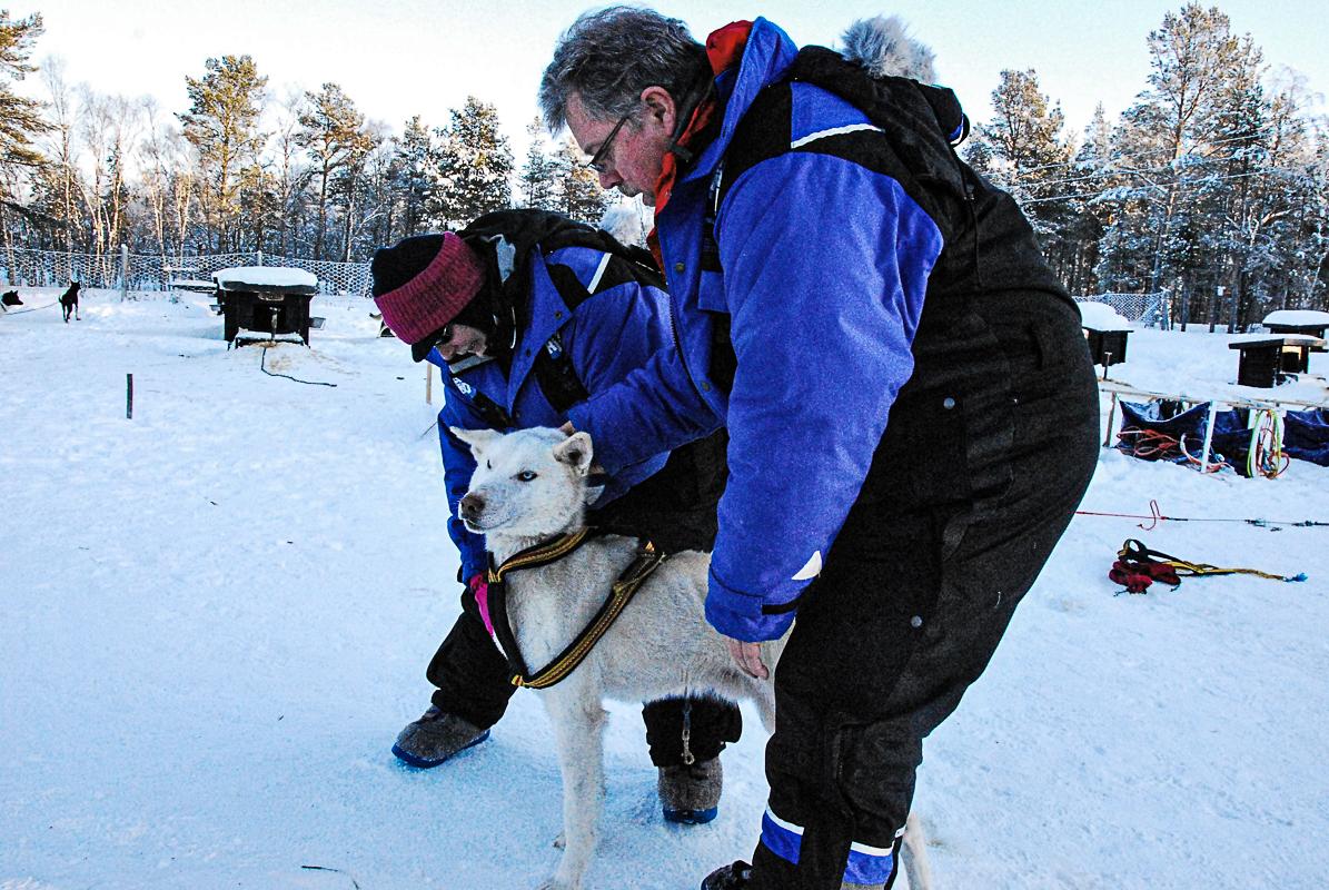 Du lærer å kle opp hunden når du skal ut å kjøre med Birk Husky © Knut Hansvold