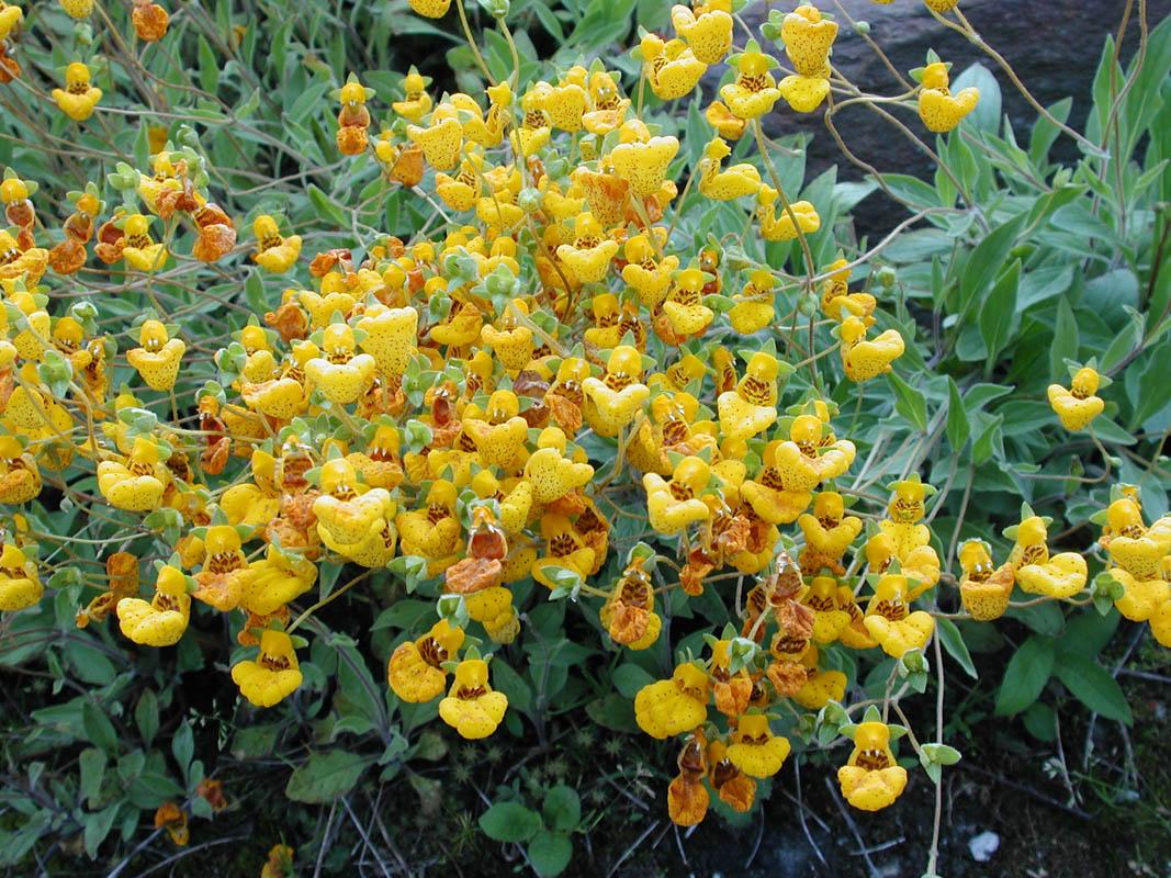 Calceolaria Lanceolata er mange sin favoritt