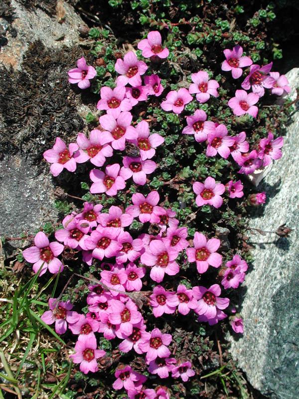 Er Saxifraga Oppositifolia det vakreste navnet på alle blomstene i den botaniske hagen i Tromsø?