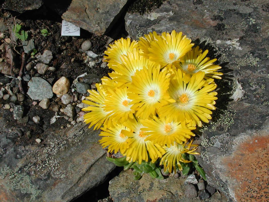 Delosperma Basuticum er en gul blomst som man finner når man besøker hagen
