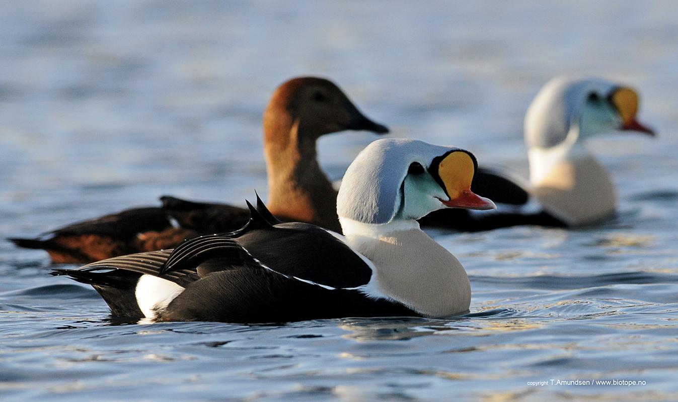 Praktærfuglen er i Varanger om vinteren (c) Biotope