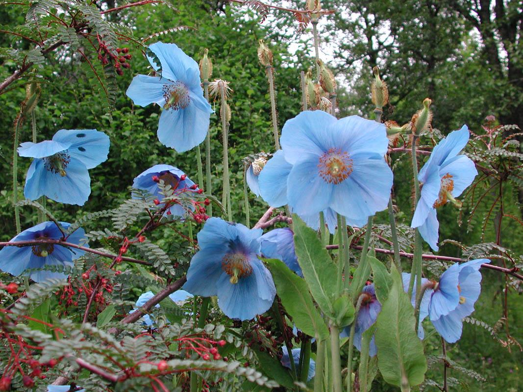 Blomsten Meconopbus Betonicifolia kan du oppleve ved å dra til Botanisk Hage i Tromsø