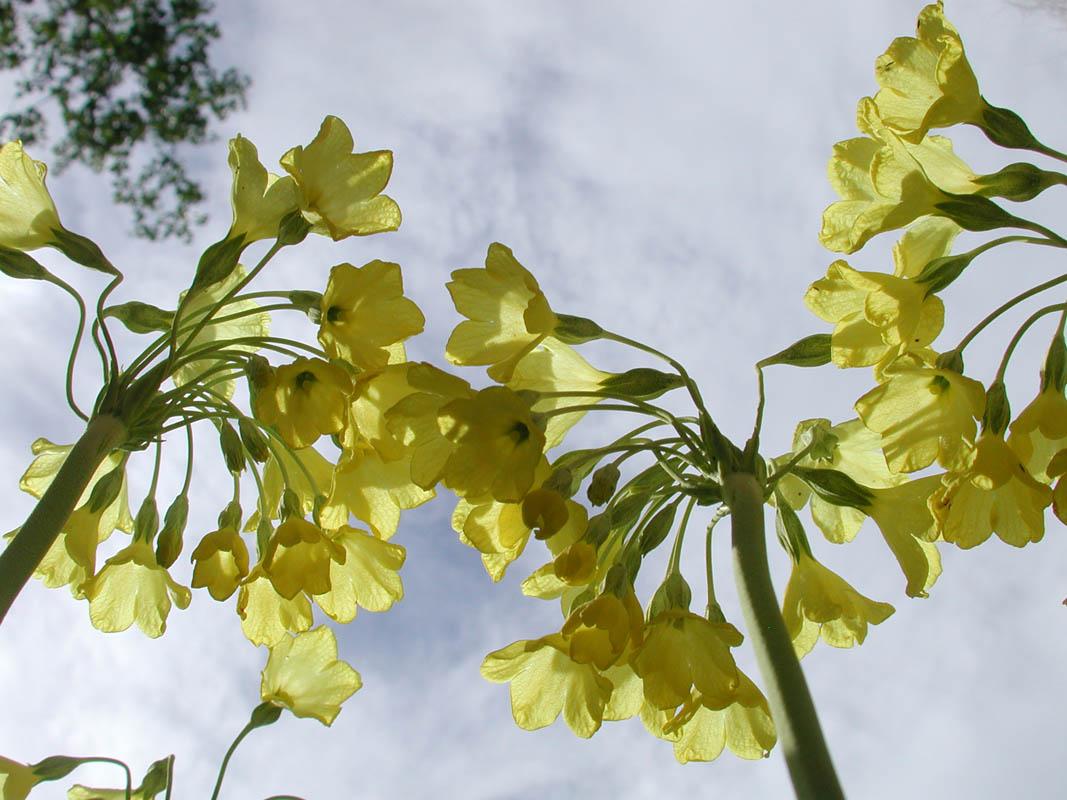 Har du sett Primula Sikkimensis?