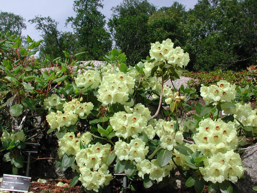 Rhododendron Wardii er like vakker som den er vanskelig å uttale