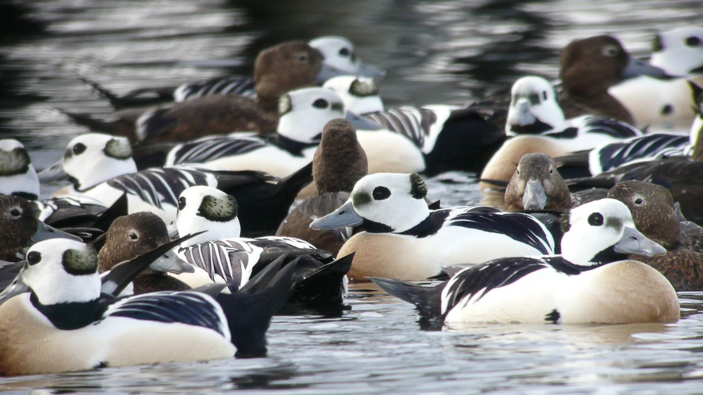Steller eiders, the male have the characteristic colours © Biotope