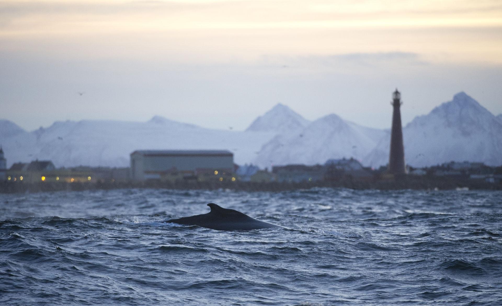 Ved Andenes er stor mulighet for å se hval (©) Marten Bril