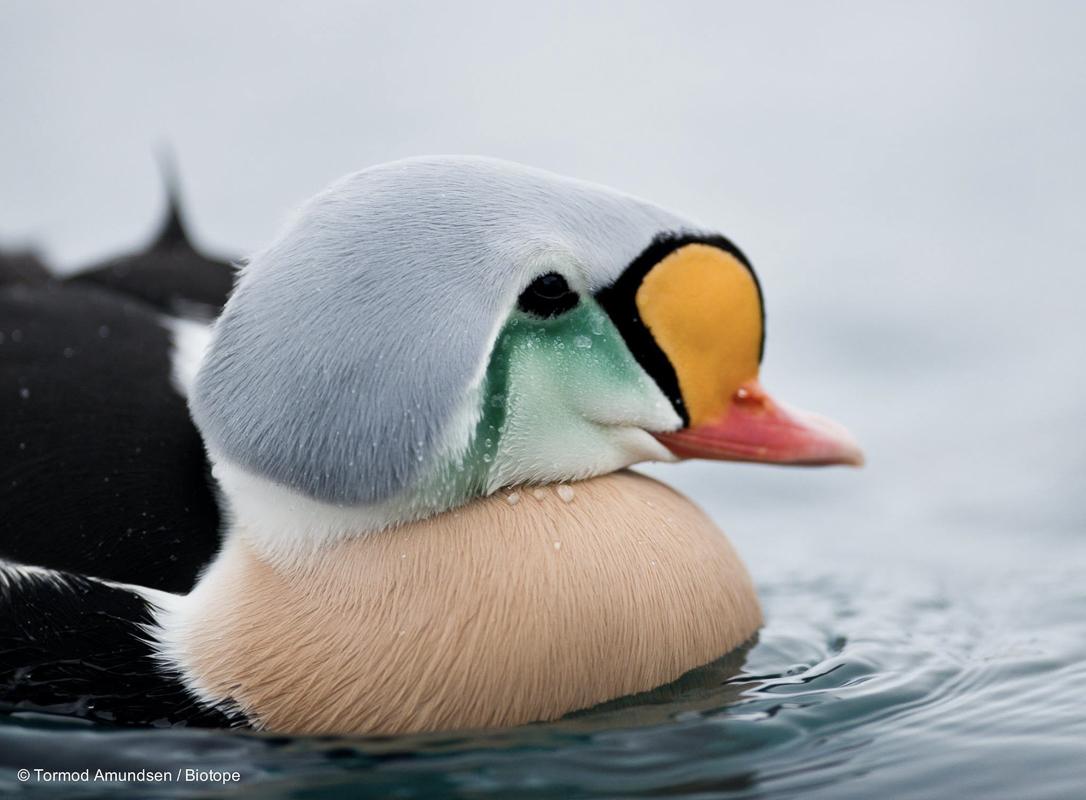 Praktærfuglhannen bærer sitt navn med rette (c) Biotope