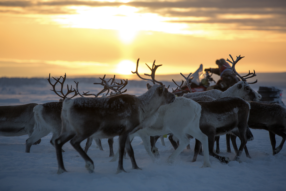 Sami People have been reindeer herding for ages
