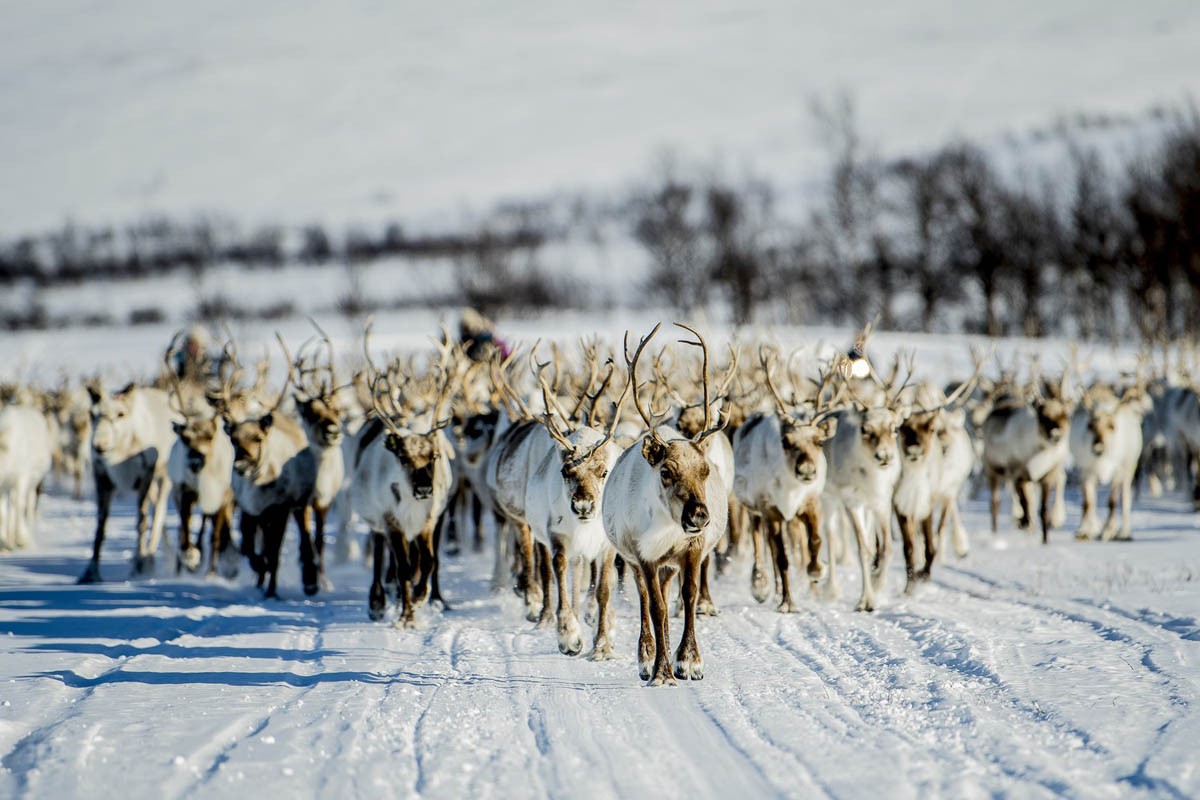 The Sami Reindeer herders have an annual migration ending around easter © Hætta Opplevelser