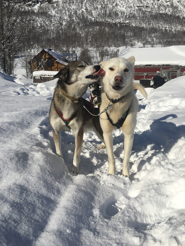 The dogs you meet are friendly and very social © Jevningen Gardog Husky