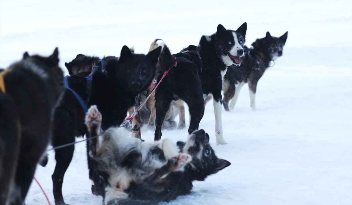 Hundene tar en velfortjent hvil © Ella Pellegrini