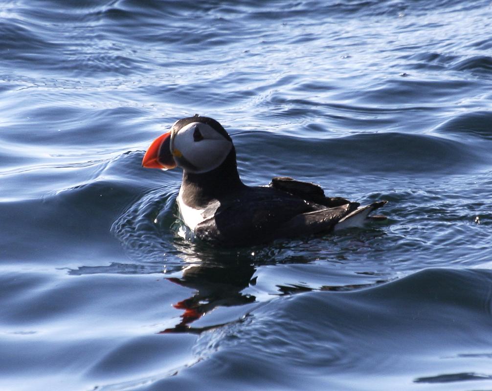 Lunde på vannet (c) Birdsafari