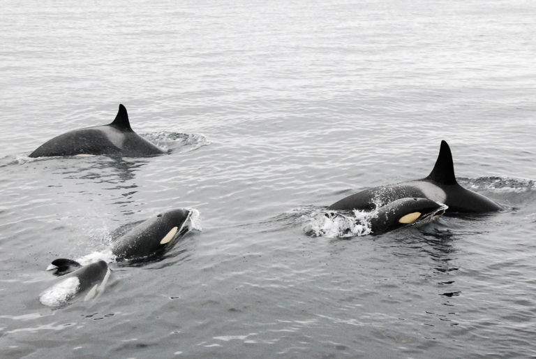 Orcas after hunting congratulating one another © Knut Hansvold
