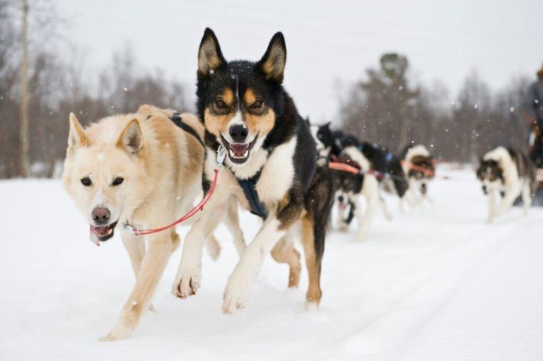 Du har som regel 6-8 hunder i spannet ditt når du er ute på tur © Terje Rakke
