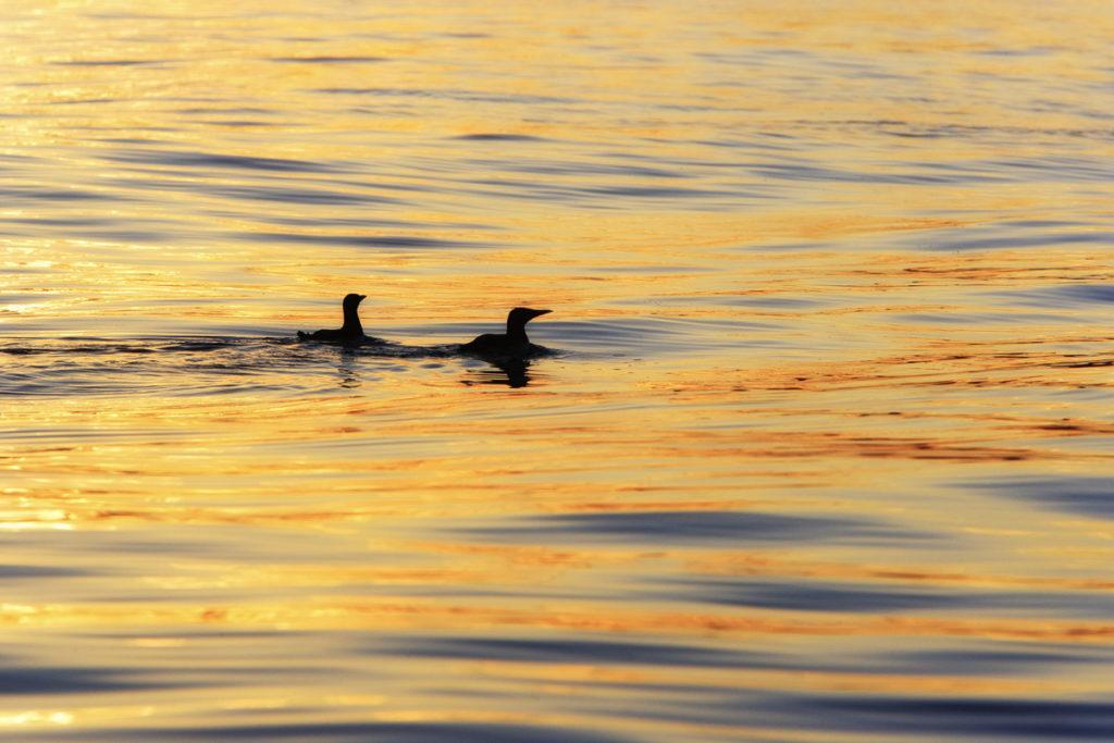 Two little guillemots in Midnight Sun