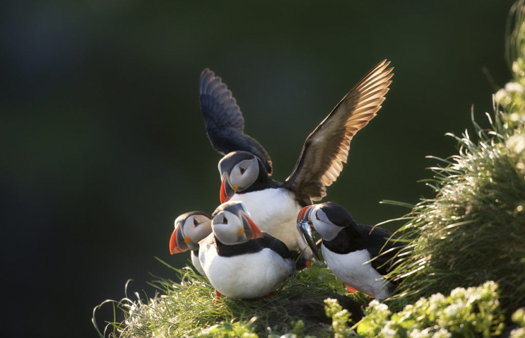 Puffins at Hornøya island