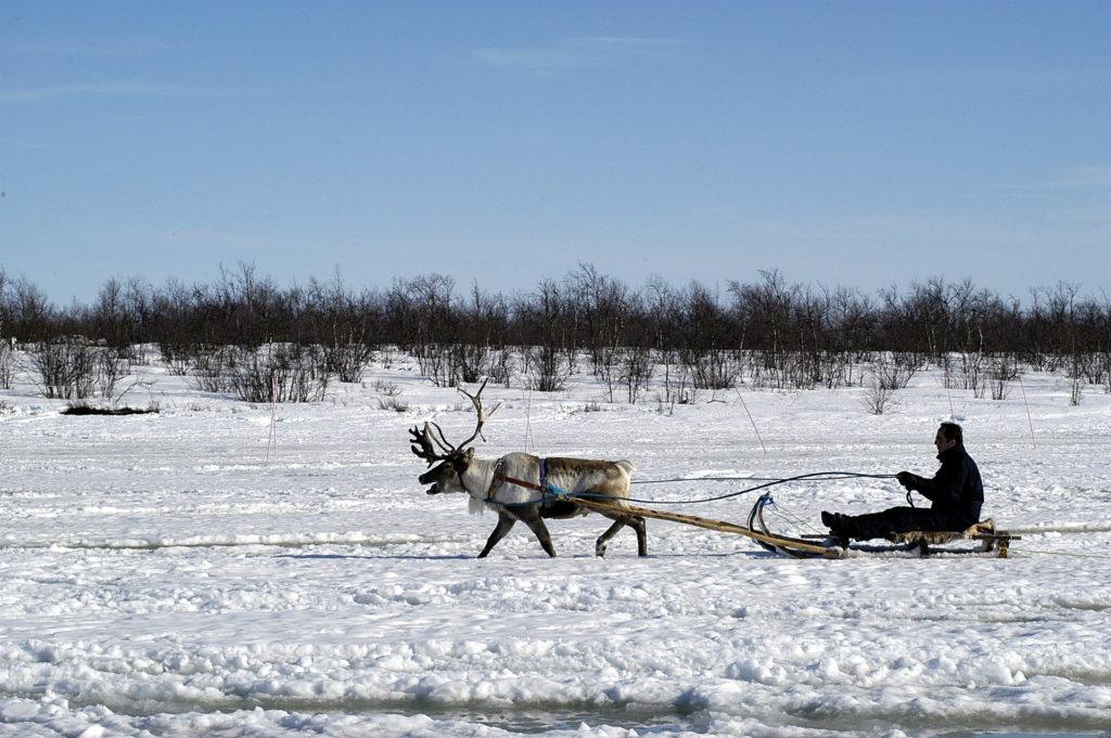 reinsdyr som drar en slede i kautokeino norge