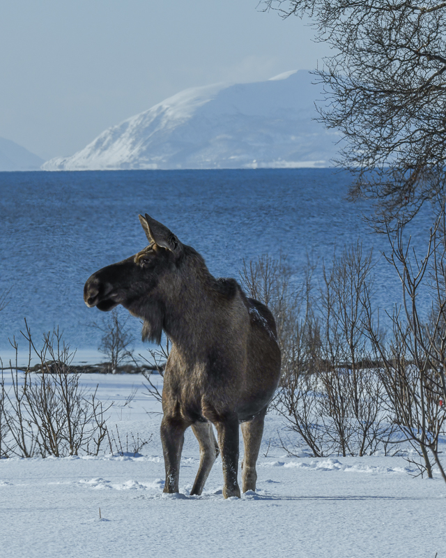 Deep snow can be a problem for the moose, making it stroll along the roads © Vesterålen Tours