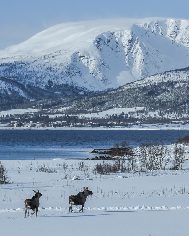 Moose on the loose in winter © Vesterålen Tours