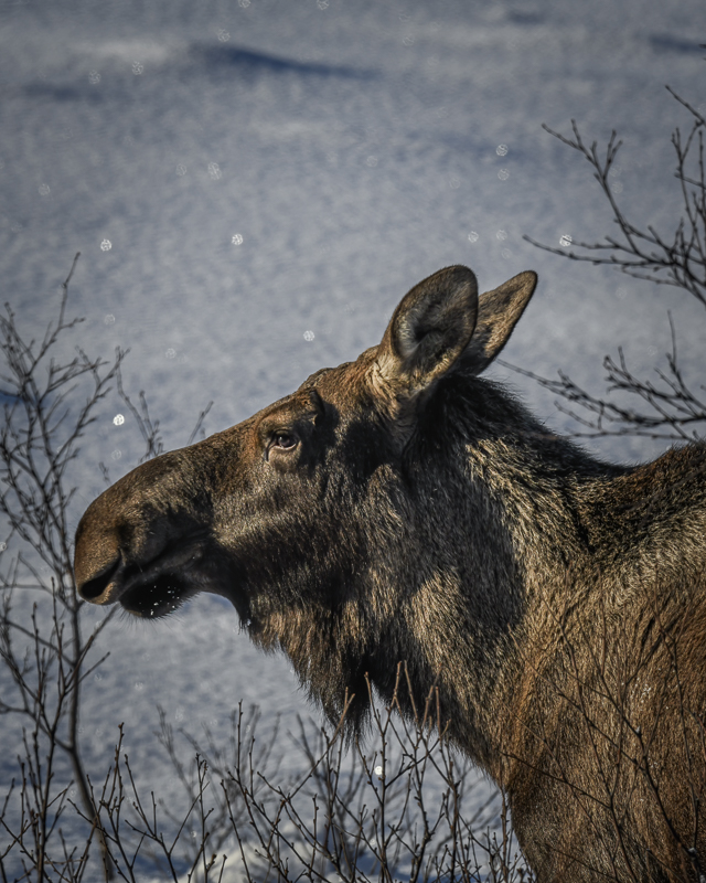 A big one, looking for some birch to gnaw © Vesterålen Tours