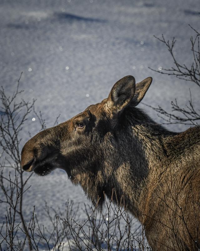 Elgen gnager på bjørk og rogn om vinteren © Vesterålen Tours