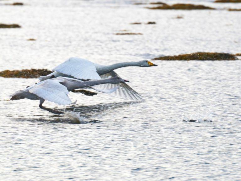 Whooper swans © Huset på Yttersiden
