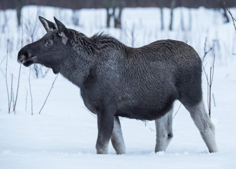 Winter is a hard time for the moose © Vesterålen Tours