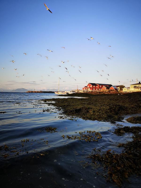 Fugler over bebyggelsen © Lovund Event