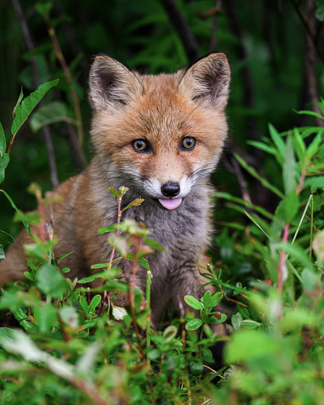 A fox cub exploring the world © Vesterålen Tours