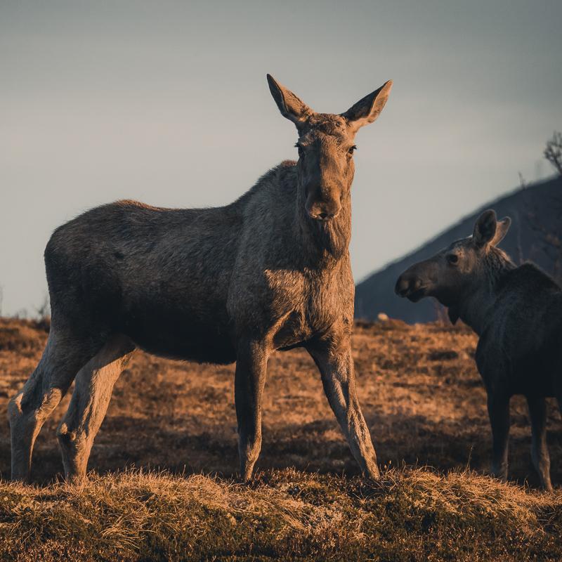 Elg i midnattssol Moose in Midnight Sun @Vesterålen Tours