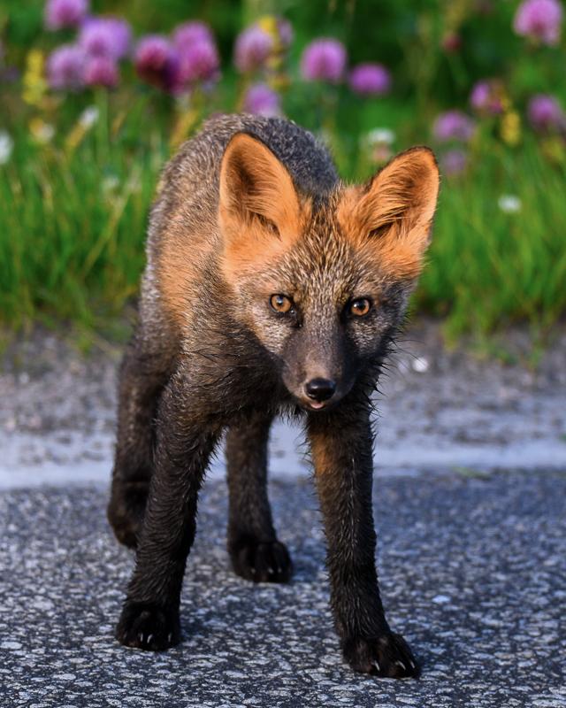 A young fox running about © Vesterålen Tours