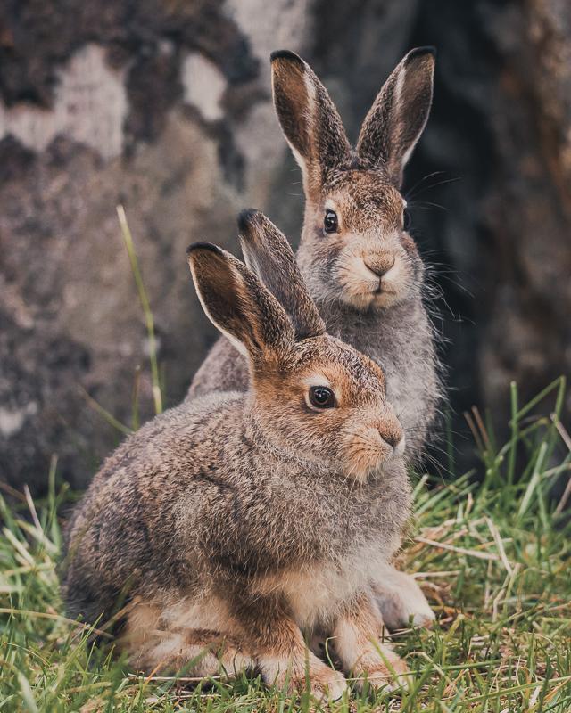 Harer er gjerne ute om natta © Vesterålen Tours