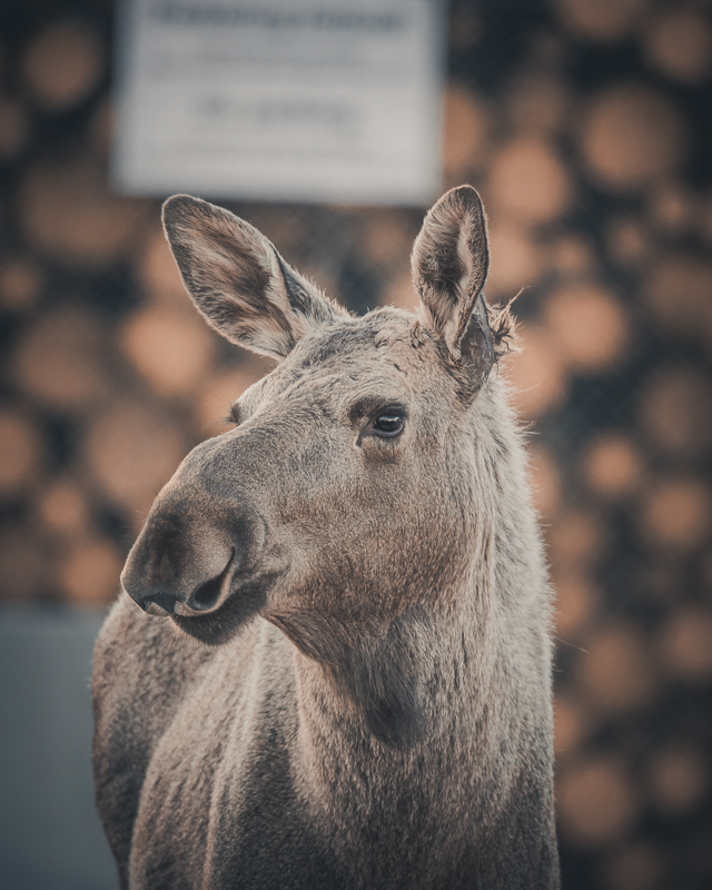 Somehow, the moose are not afraid of contact with humans © Vesterålen Tours