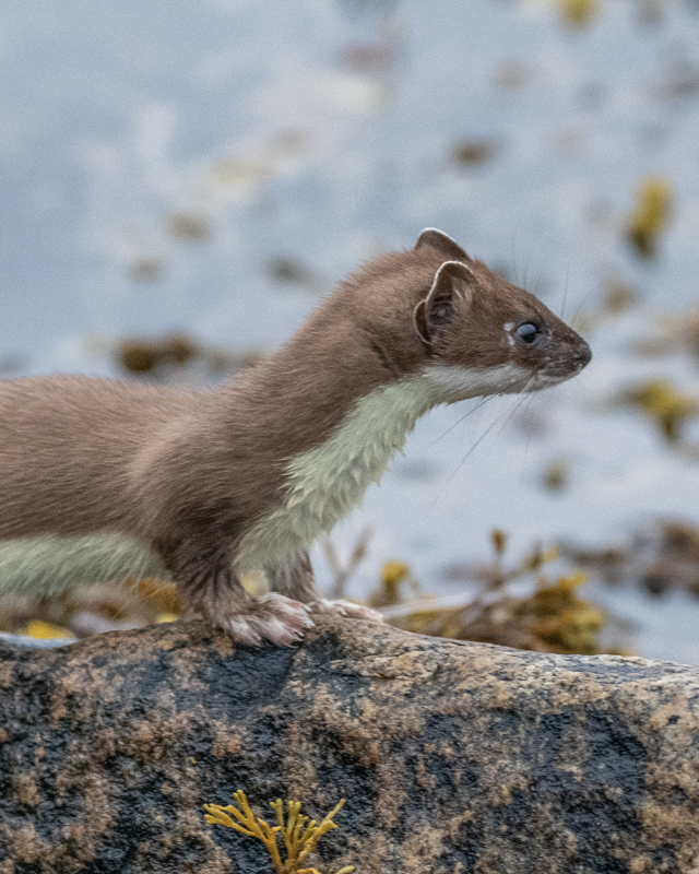 Weasels usually disappear quickly, so getting a photo is hard work © Vesterålen Tours