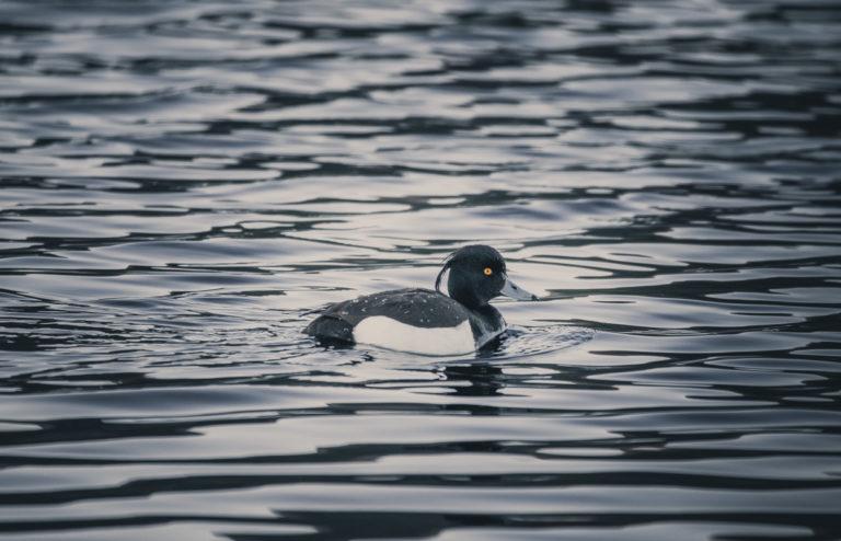 Tufted duck © Vesterålen Tours