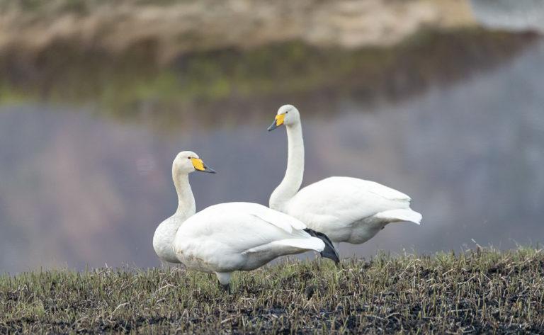 Whoper swans © Vesterålen Tours