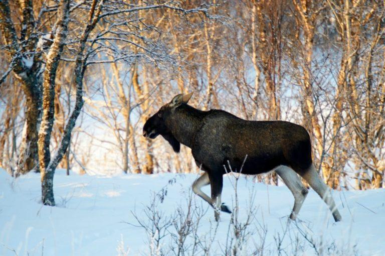 The king of the forest © Huset på Yttersiden