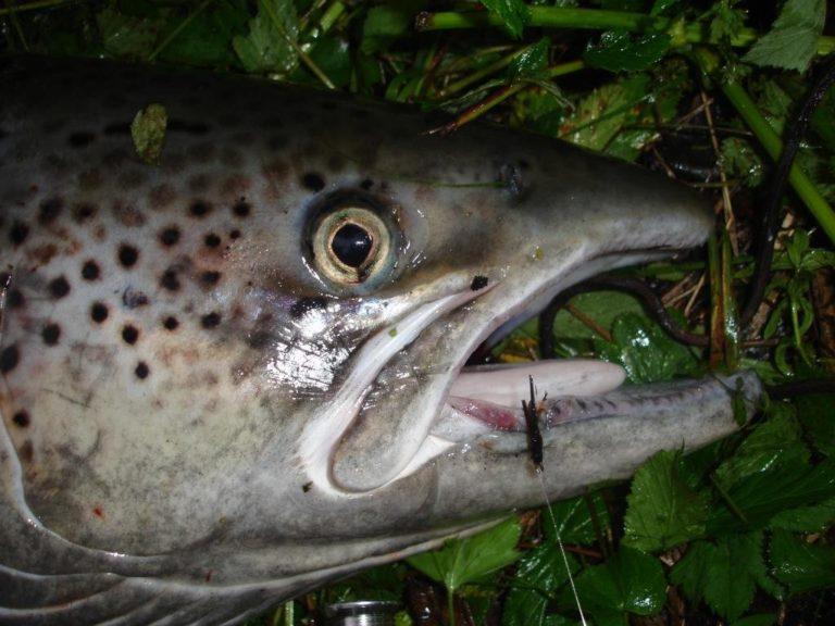Celebrity trout © Ken-Gøran Grøtte Pedersen