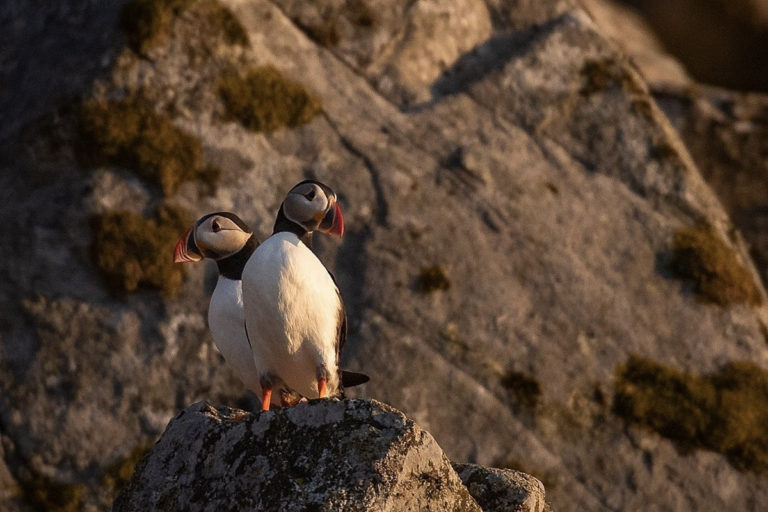 Puffins resting in the midnight sun after a day's fishing © Anders Nilsson/Lovund Event