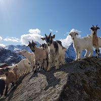 Heltene har et fritt liv der de får beite fritt i fjellet © Lofoten gårdsysteri