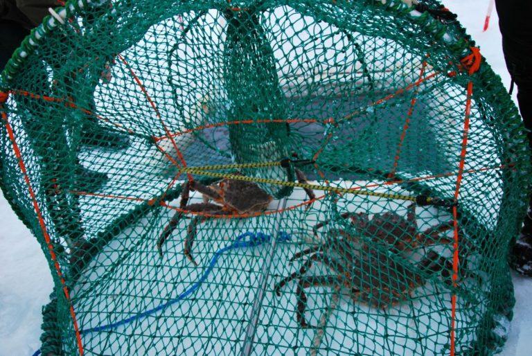 Teiner fulle av krabber © Knut Hansvold